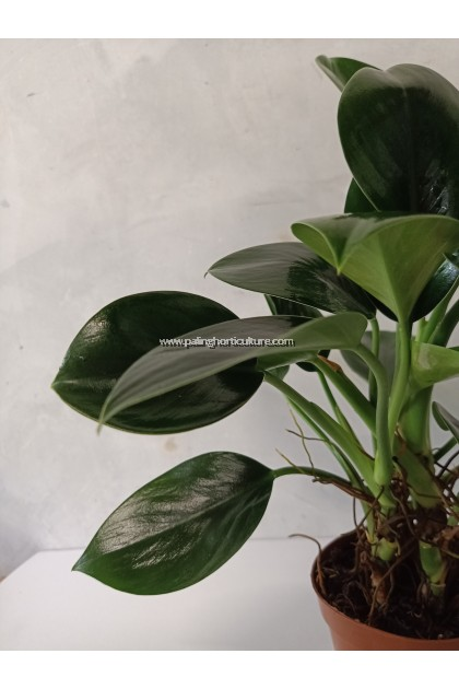 Philodendron Apple Congo