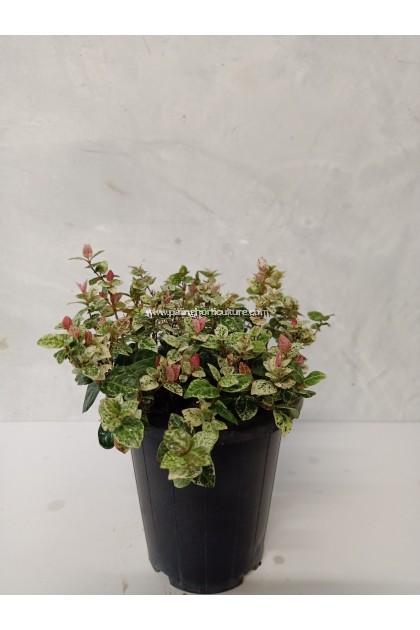 Trachelospermum Asiaticum | Asiaticum Jasmine