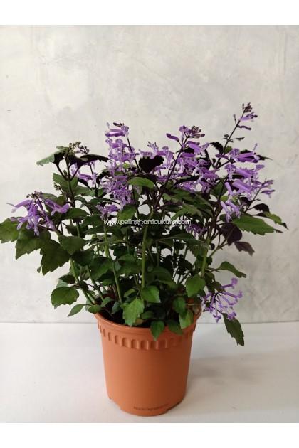 Ajuga Purple