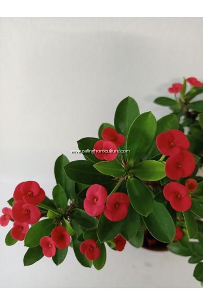 Euphorbia Milli | Crown-of-Thorns