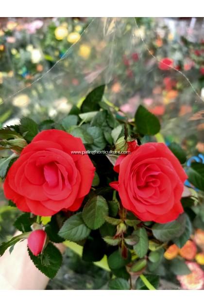 Rose [Random Mix Colour]