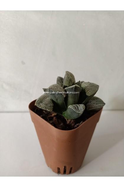 Haworthia Pygmaea