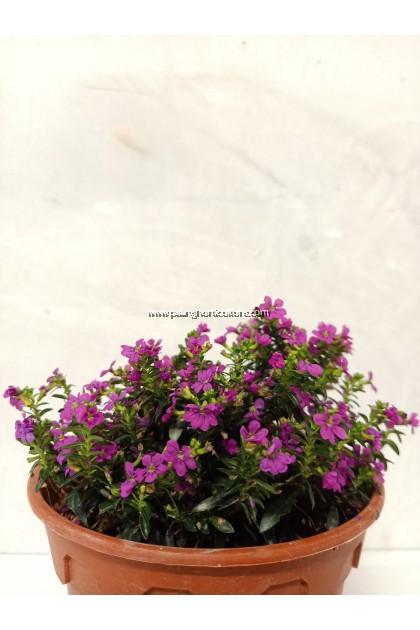 False Heather   Cuphea Hyssopifolia