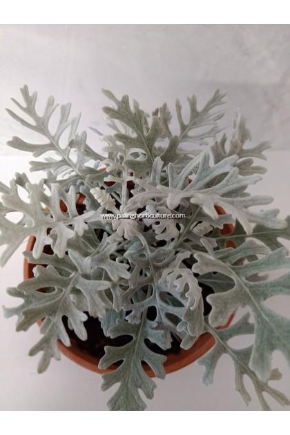 Silver Ragwort
