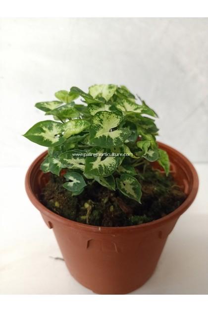 Mini Syngonium
