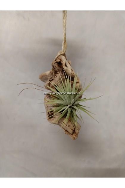 Tillandsia Utriculata