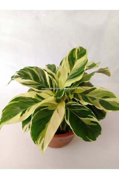 Calathea Yellow Fusion