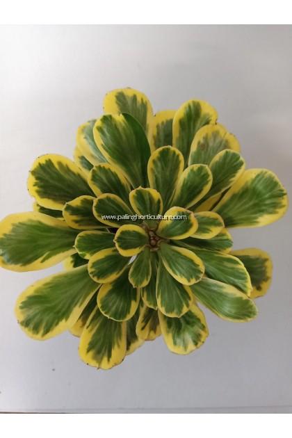 Euphorbia Poissonii