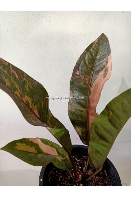 Anthurium Jenmanii Tricolor