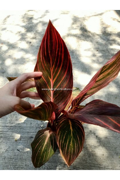 Red Leaf Canna Lily
