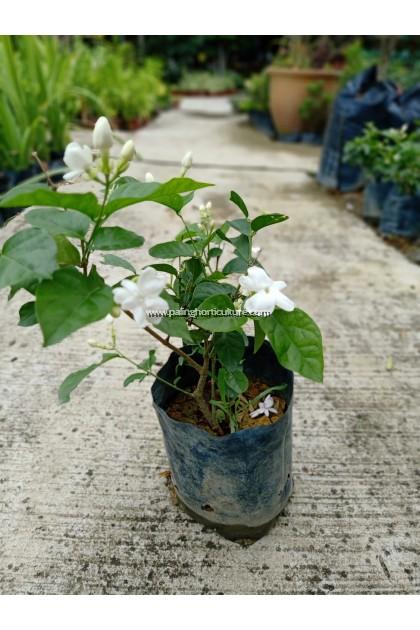 Jasminum Sambac | Arabian Jasmine