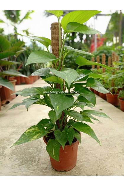 Money Plant With Coco Pole
