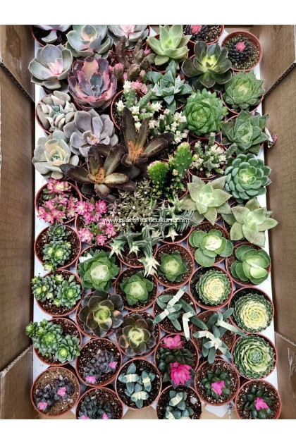 Rare Succulents - Random Selection, Pm Us to Select If Needed