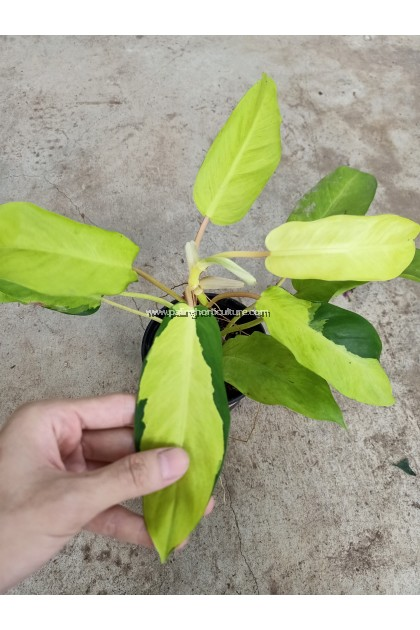 [Paling Horticulture Sdn Bhd] Philodendron Thai Sunrise Variegated
